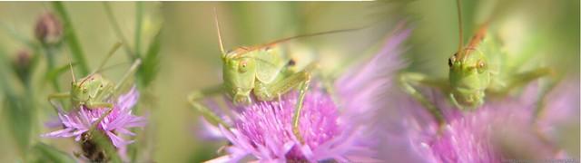 Histoire d'une sauterelle,  Story of a grasshopper