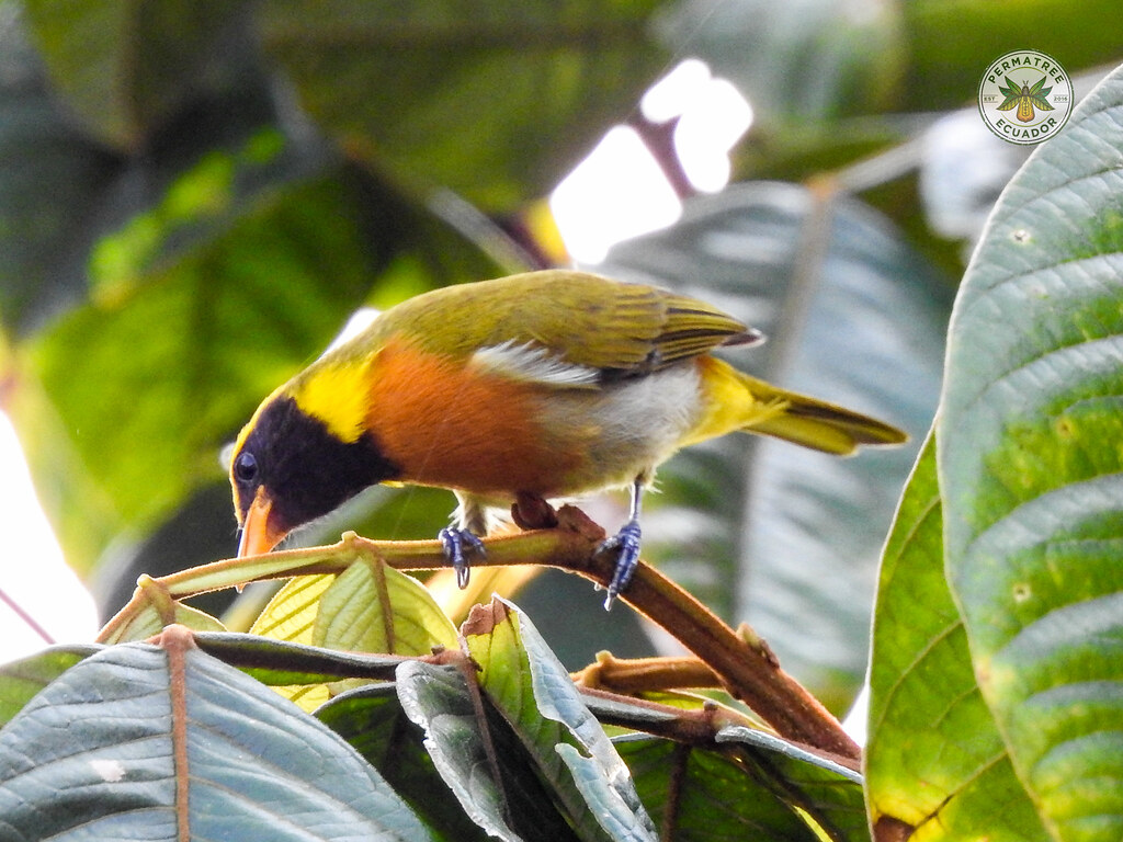 Fauna: Guira Tanager (Hemithraupis guira)