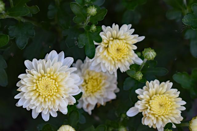 White Mums Blooming.
