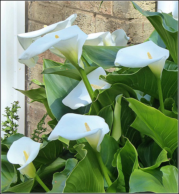 Nice Selection of Lilies ..
