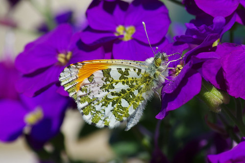 anthochariscardamines male orangetip butterfly insect aubretia garden barhill cambridgeshire