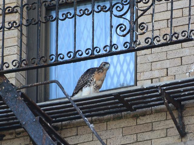 Annunciation Hawk Nestling 1 - 6187