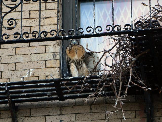Annunciation Hawk Nestling 2 - 6176