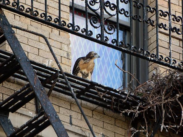 Annunciation Hawk Nestling 2 - 6160