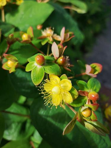 Tutsan flowers