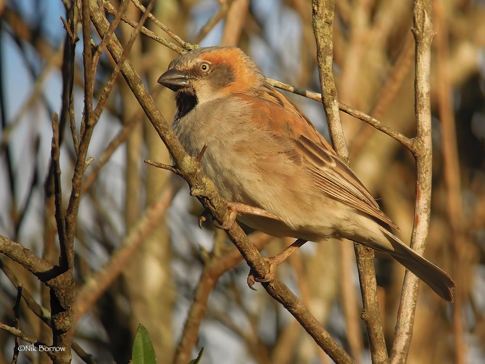 Kenya Rufous Sparrow Passer rufocinctus