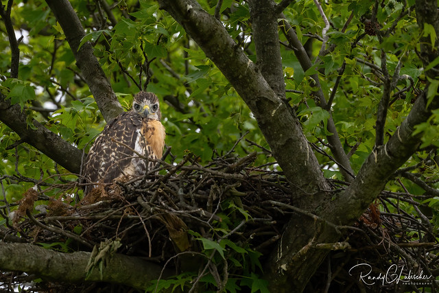 Red-tailed Hawk - Buteo jamaicensis | 2020 - 6