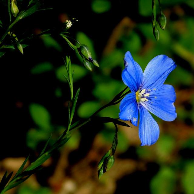 Niebieski kwiat.