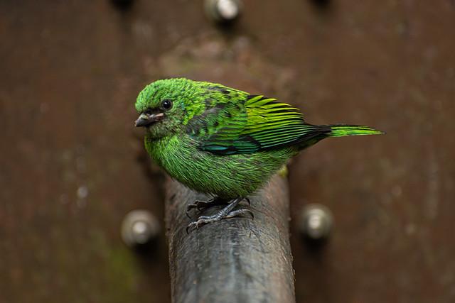 Calliste à tête verte / Green-headed Tanager Serie