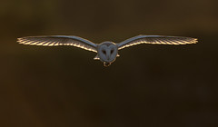 Barn Owl in sunset