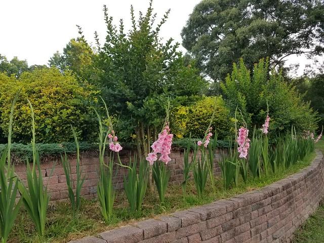 剑兰花 (Gladiolus Flower)