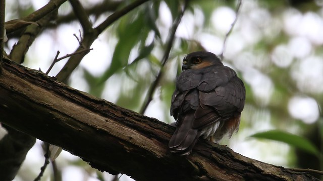 Sparrowhawk, 05062020, 01 f