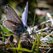 Tatty common blue butterfly