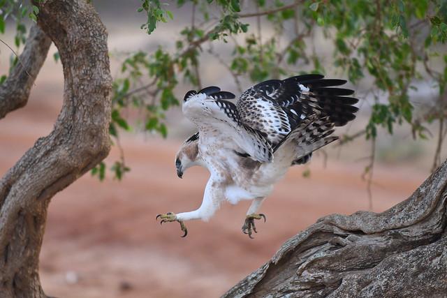 Águila-azor variable (Nisaetus cirrhatus) - Sri Lankan Crested Hawk-Eagle