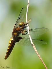 Broad-bodied Chaser ♀ (Libellula depressa)
