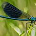 Gebänderte Prachtlibelle (Calopteryx splendens) (1)