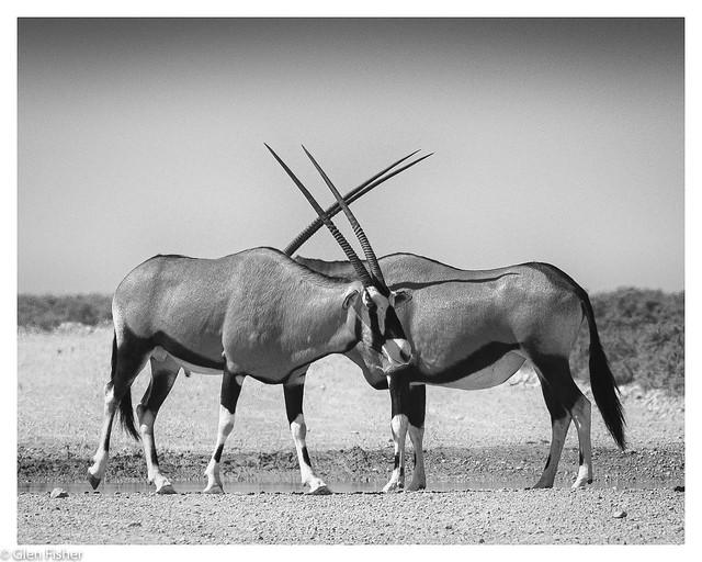 Crossed Swords. Gemsbok, Etosha National Park, Namibia