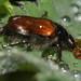 Käfer unbestimmt