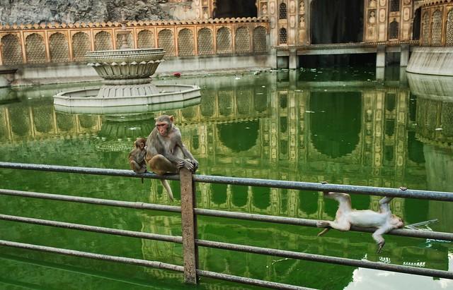 El templo de los monos de Jaipur