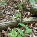 Jack in his Pulpit or Jack-in-the-Pulpit , on Duffins trail through the woods in Discovery Bay , Martin's photographs , Ajax , Ontario , Canada , June 4. 2020