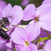 Andrena pilipes, w