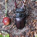 Stag beetle and miniature cherry