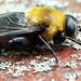 Bee mimic b