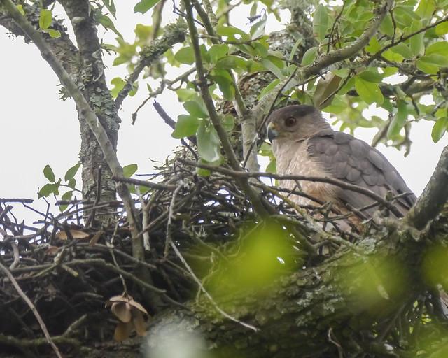 Cooper's Hawk on Nest