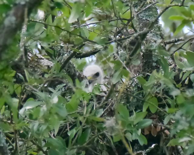 Broad-winged Hawk Nestlings - 1 - 1
