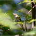 _Red-eyed Vireo-7296_01