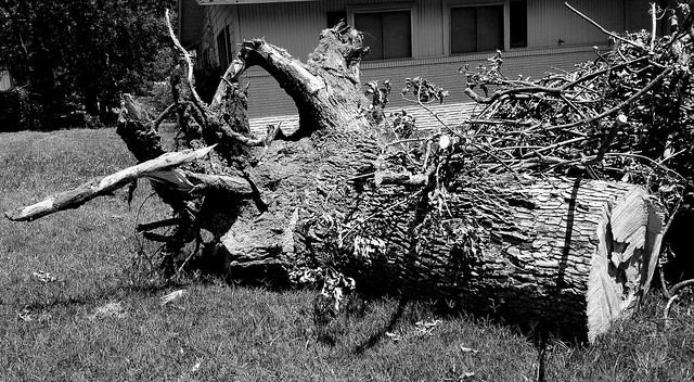 Tornado aftermath: two weeks have passed,& because the city is managed Banana Republic style, piles of tree debris are not getting picked up. This large tree was uprooted