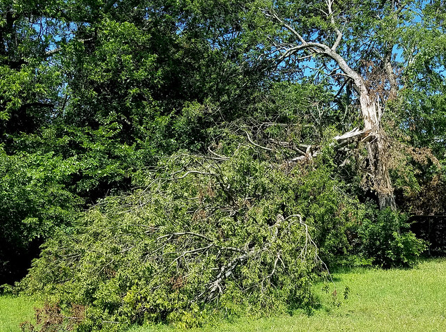 Tornado aftermath: two weeks have passed,& because the city is managed Banana Republic style, piles of tree debris are not getting picked up. In this case, a tree split in half has been left as is...