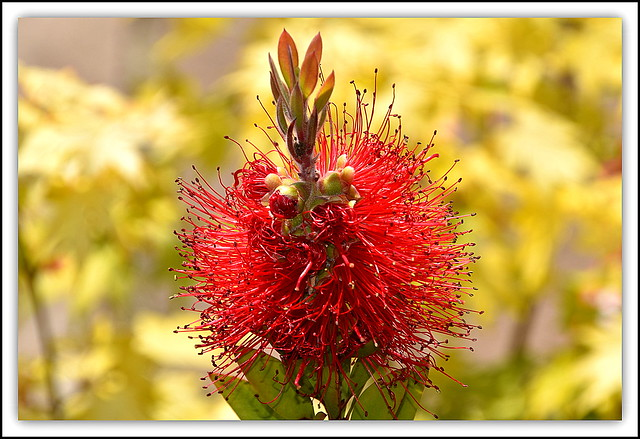 FLower Of The Day - Calliandra (Bottle Brush)