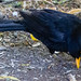 Male blackbird prospecting dry soil