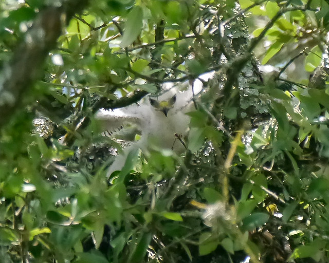 Broad-winged Hawk Nestlings - 1 - 10