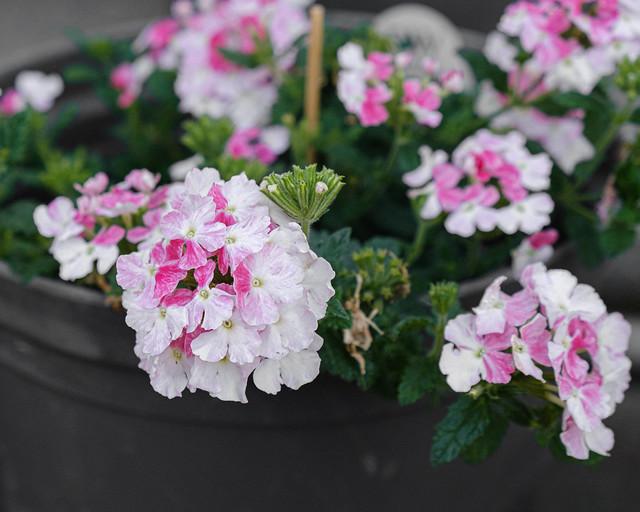 June 5 Pink Duotone Geraniums