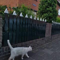 Matching ears #cats #CatsOfInstagram #WhiteCat #CatSpotting