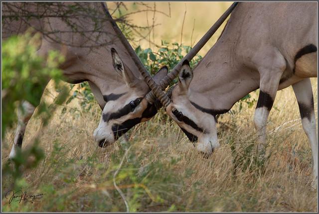 Dueling Oryx 2358