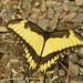 broad-banded swallowtail 2