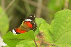 scarlet peacock 2