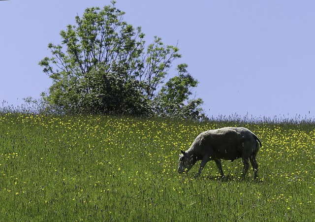 Sheep In Buttercups