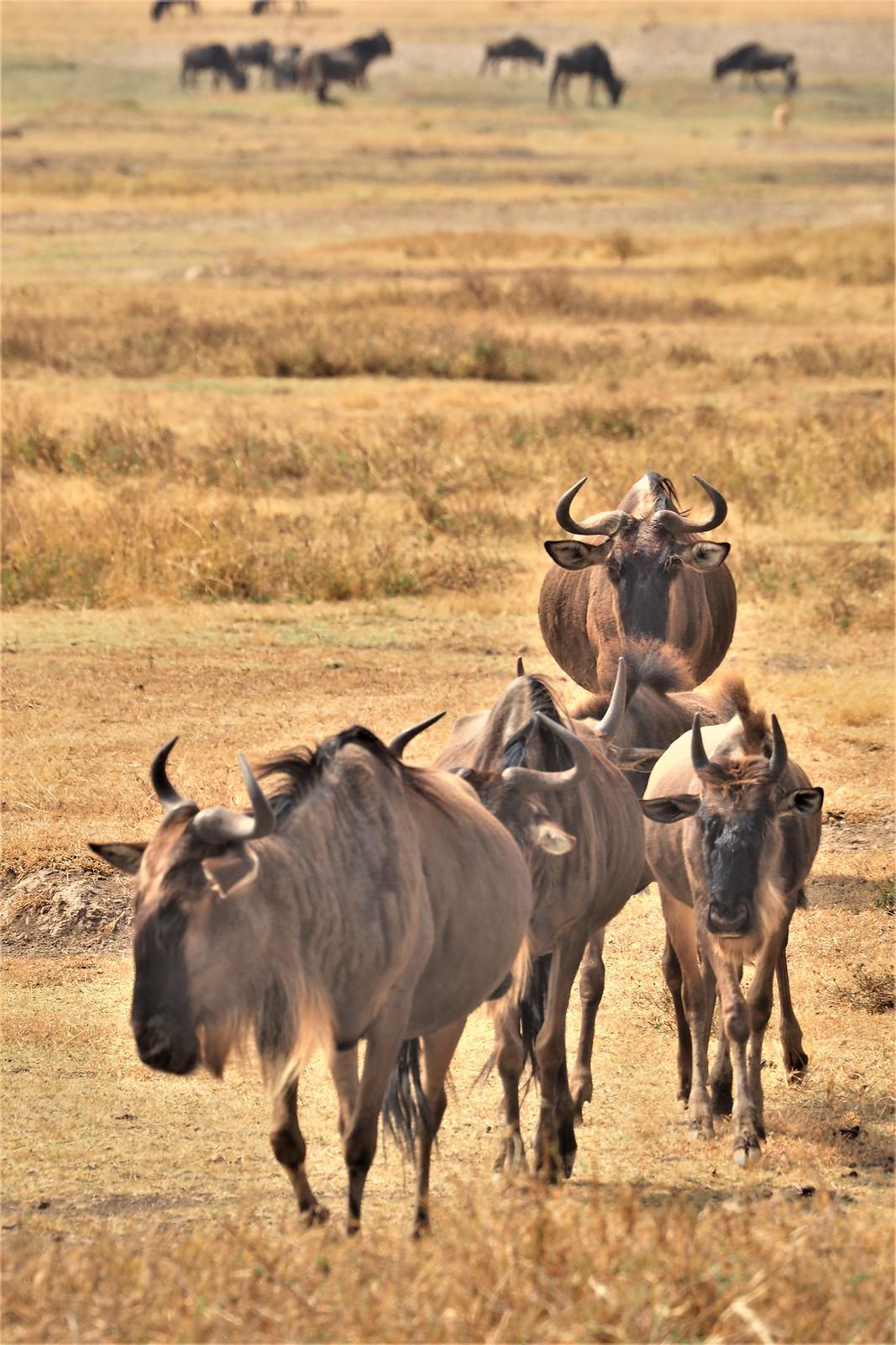 P8300320 Udare Big 5+5 Ngorongoro ñues (2)