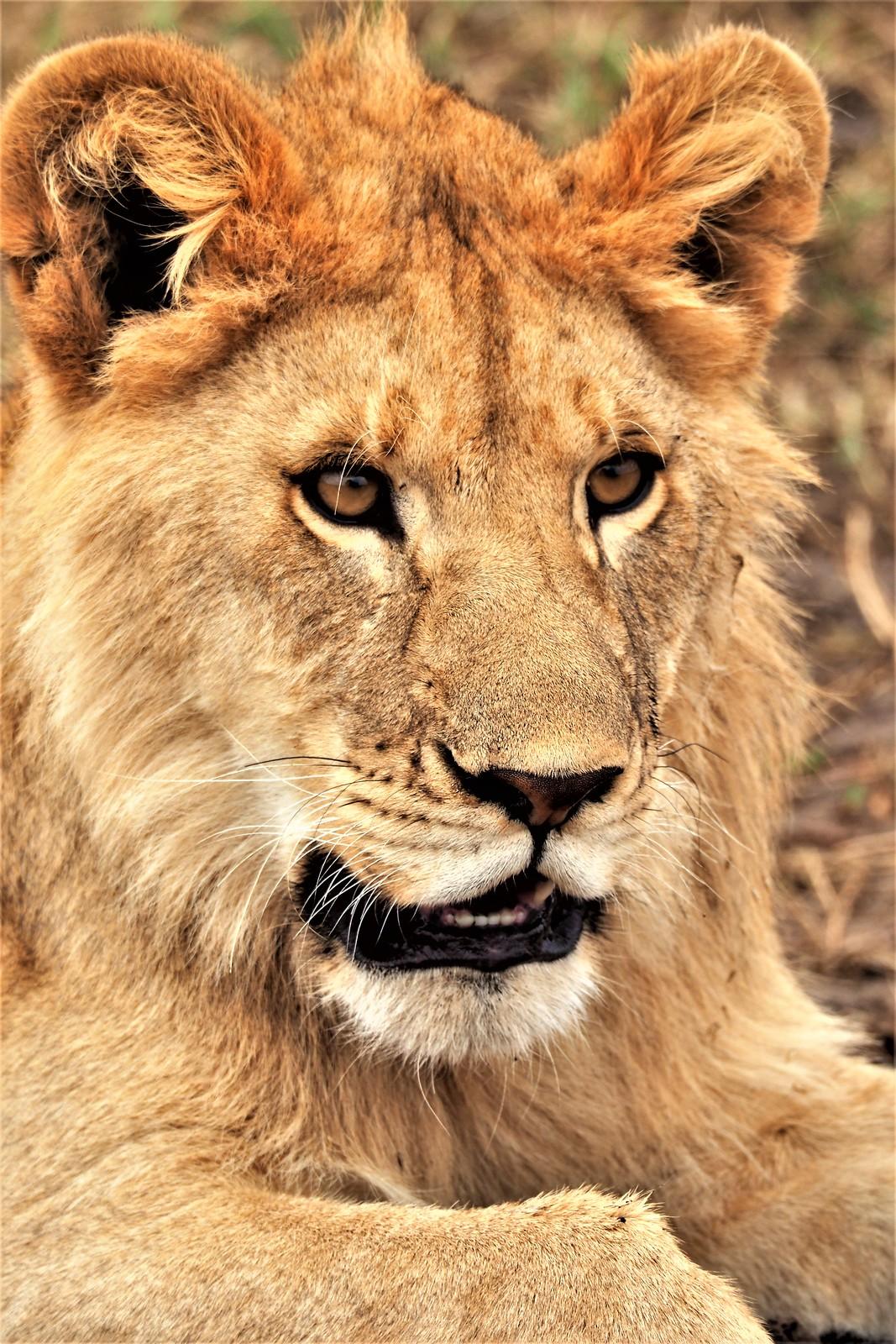 P9010715 Udare Big 5+5 Serengeti Leon macho juvenil (2)