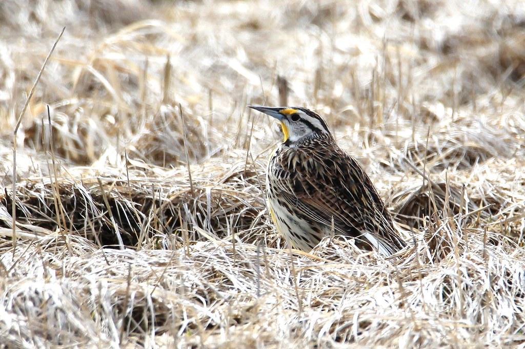 Eastern Meadowlark- Sturnelle des prés ( Diane )