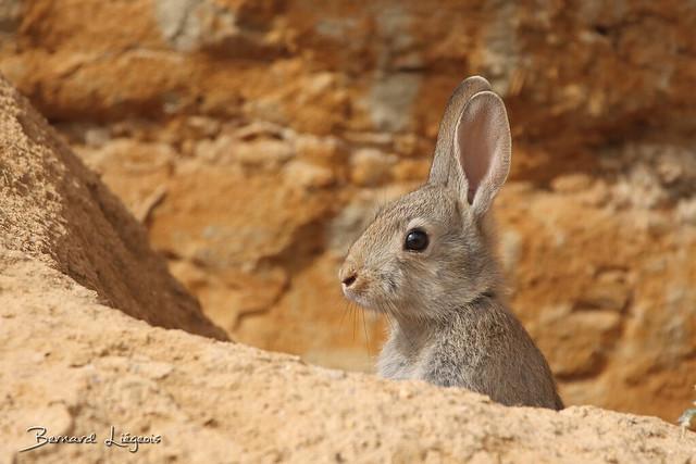 [In Explore # 61] Oryctolagus cuniculus | Lapin de garenne | European Rabbit
