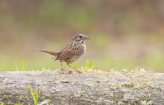 Lincoln Sparrow.(Lifer)