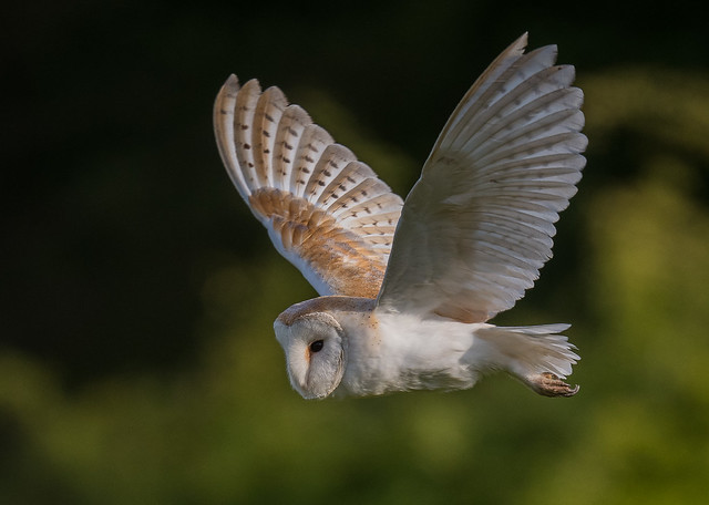 Barn Owl hunting. Newstead and Annesley Country Park, Nottinghamshire. DSC_6015.jpg