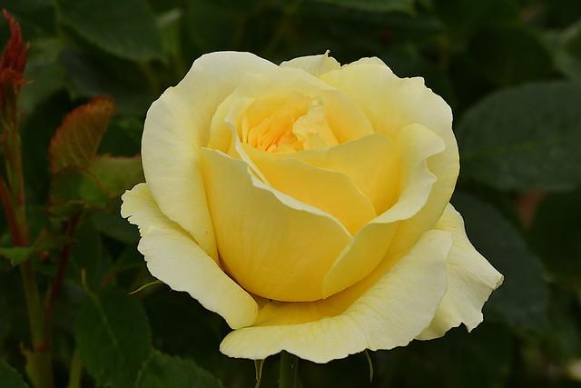 English rose cultivar, var. The Pilgrim.