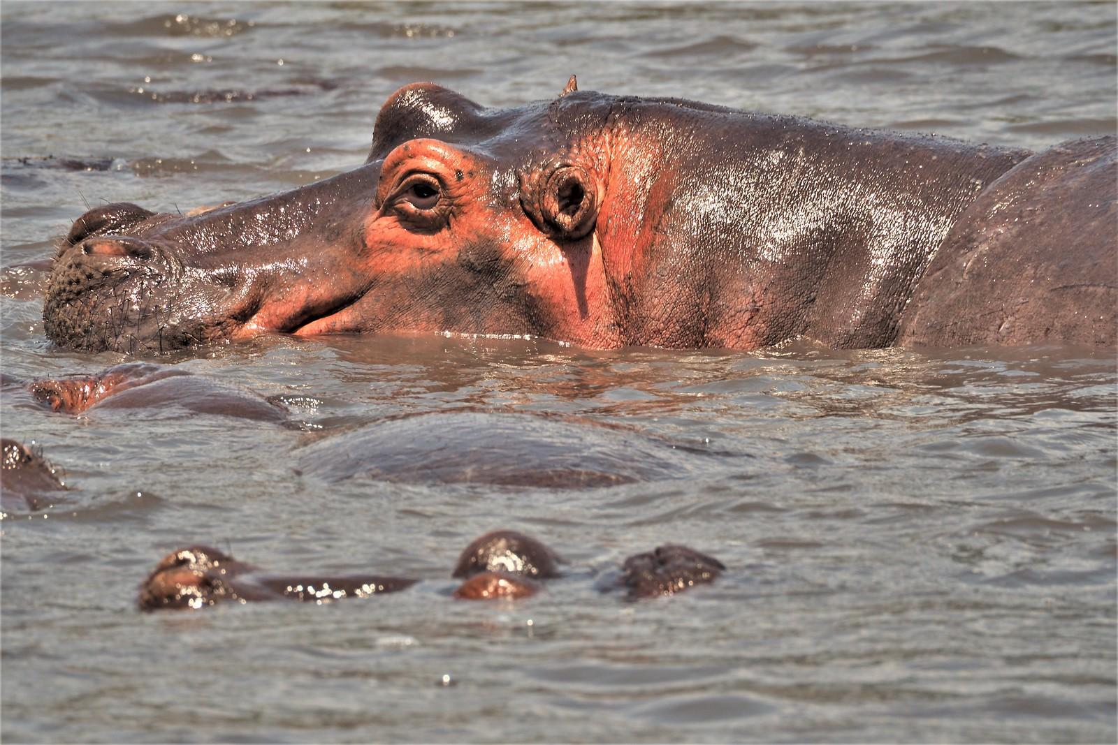 P8300469 Udare Big 5+5 Ngorongoro hipopótamo (2)