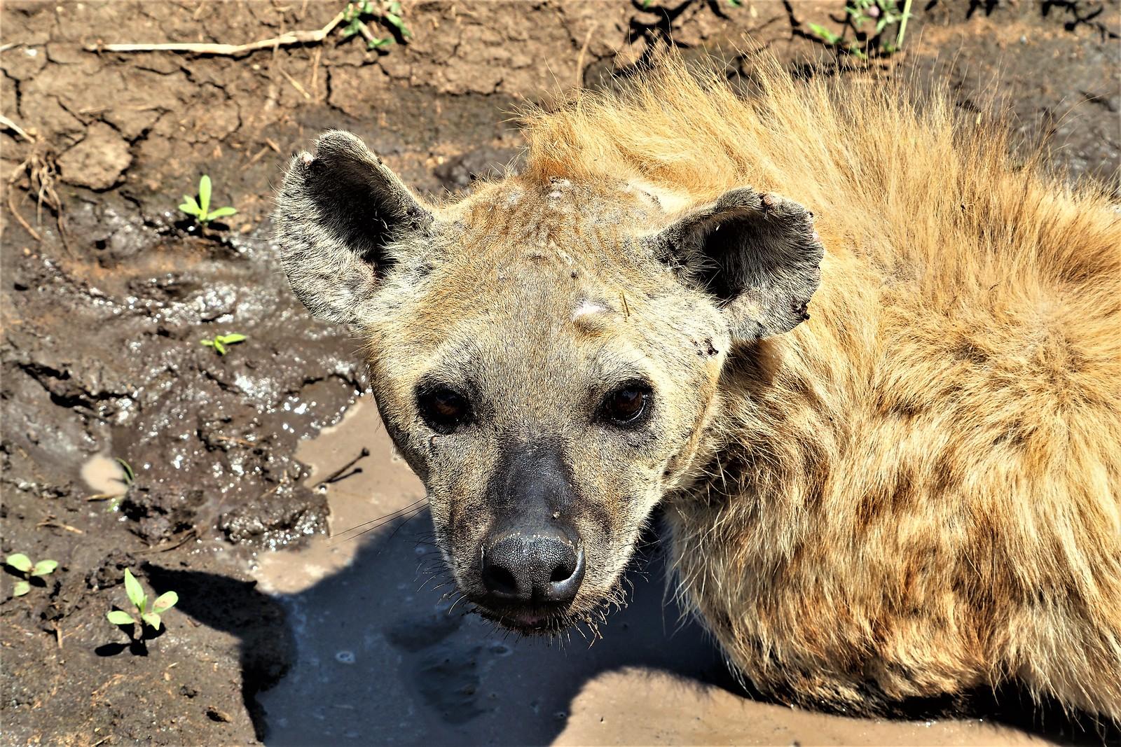 P9010688 Udare Big 5+5 Serengeti hiena (2)
